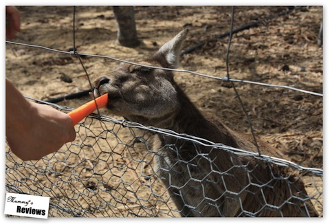 Feeding a kangaroo in Perth