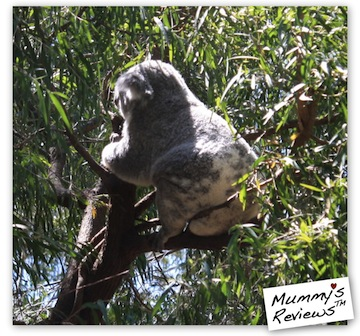 Travel Perth with Toddler - Perth Zoo Koala